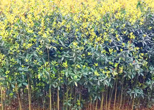 桂花經濟苗