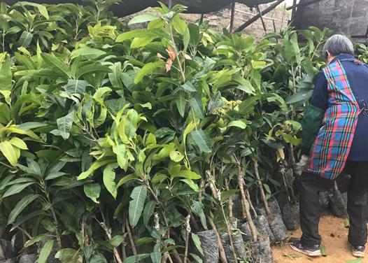 青銅峽芒果苗
