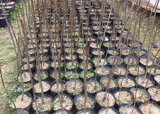 榆樹李子果苗