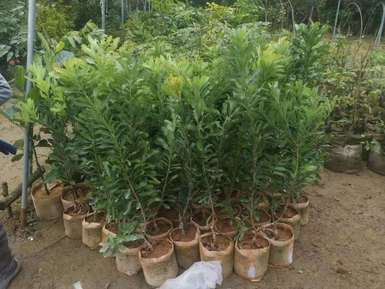 榆樹楊梅水果苗
