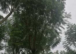 霍州藍花楹樹