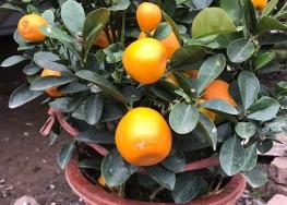 貴州柑橘果苗