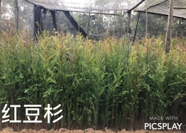 紅豆杉樹苗