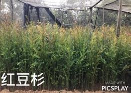 貴州紅豆杉樹苗